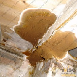 Dry rot signs - fruiting body 2